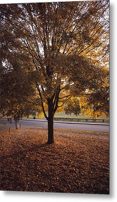 A Tree In Autumn Foliage On The Grounds Metal Print by Sam Abell