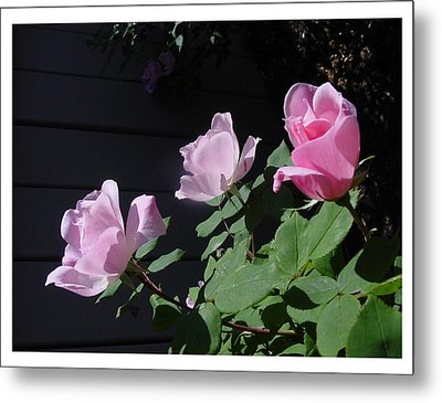 Metal Print featuring the photograph A Trio Of Beauty by Frank Wickham