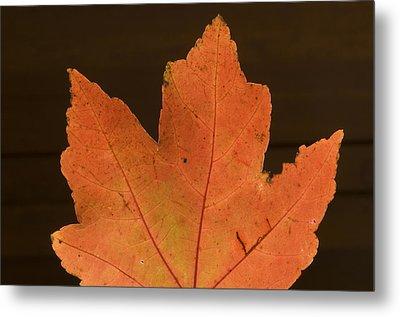 A Vibrant Colored Leaf Metal Print by Joel Sartore