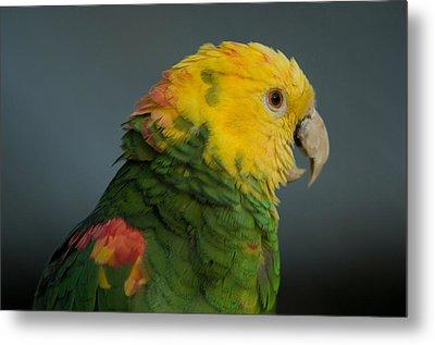 A Yellow-headed Amazon Parrots Amazona Metal Print by Joel Sartore