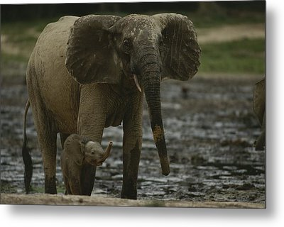 A Young Female Forest Elephant Stands Metal Print by Michael Fay