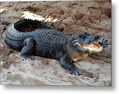 Metal Print featuring the photograph Alligator At The Everglades by Pravine Chester