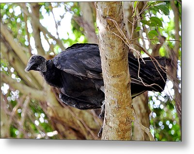 Metal Print featuring the photograph Amercan Black Vulture by Pravine Chester