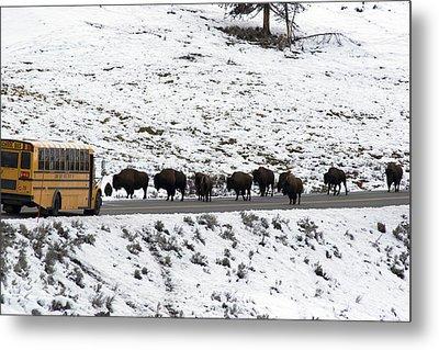 American Bison In The Road Halt Traffic Metal Print by William Allen