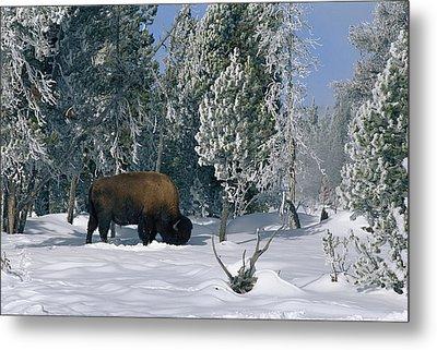 An American Bison Bison Bison Forages Metal Print by Norbert Rosing