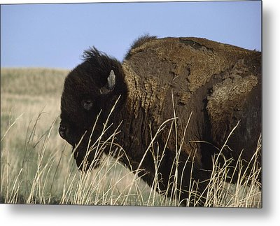 An American Bison Bison Bison Still Metal Print by James P. Blair