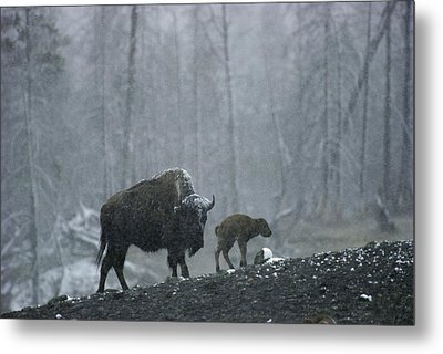 An American Bison Cow With Her Newborn Metal Print by Michael S. Quinton