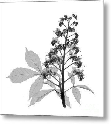 An X-ray Of A Chestnut Tree Flower Metal Print by Ted Kinsman