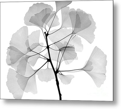 An X-ray Of Ginko Leaves Metal Print by Ted Kinsman