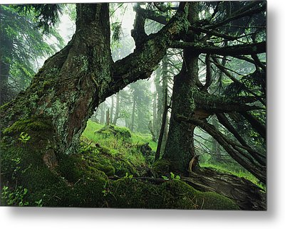 Ancient Fir Trees In Forest Metal Print by Norbert Rosing