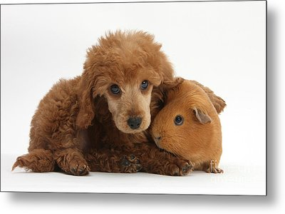 Apricot Miniature Poodle Pup With Red Metal Print