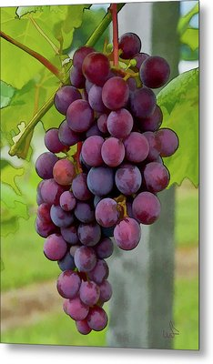 August Grapes Metal Print by Michael Flood