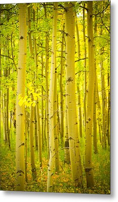 Autumn Aspens Vertical Image  Metal Print by James BO  Insogna