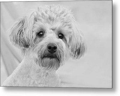 Awesome Abby The Yorkie-poo Metal Print by Kathy Clark