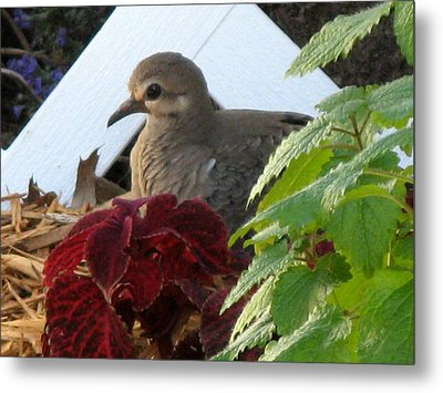 Metal Print featuring the photograph Baby Dove by Kimberly Mackowski