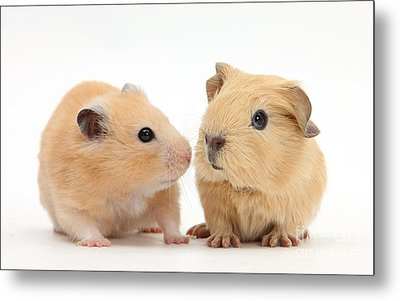Baby Guinea Pig And Golden Hamster Metal Print by Mark Taylor