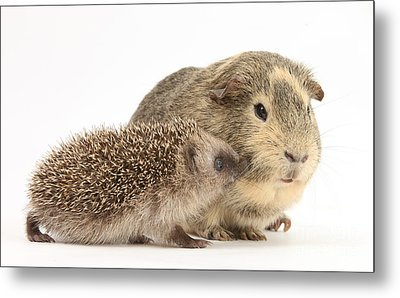 Baby Hedgehog And Guinea Pig Metal Print