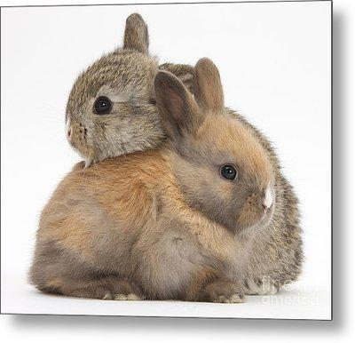 Baby Rabbits Metal Print by Mark Taylor