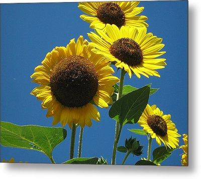 Back Bay Sunflowers Metal Print by Bruce Carpenter