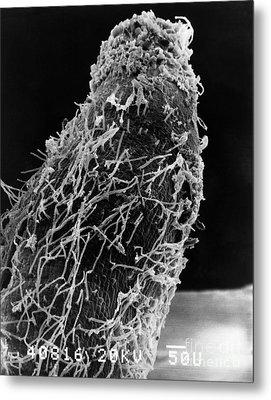 Bacteria On Sorghum Root Tip Metal Print by Science Source