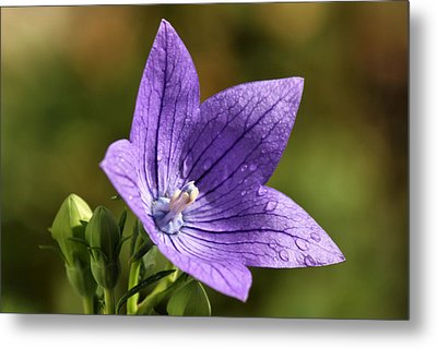 Balloon Flower Metal Print by Lori Peters