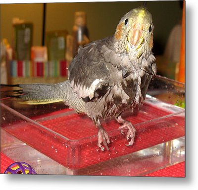 Bath Night For Birdies Metal Print by Kimberly Mackowski