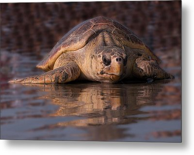 Beaufort The Turtle Metal Print by Susan Cliett