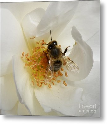 Metal Print featuring the photograph Bee In A White Rose by Lainie Wrightson