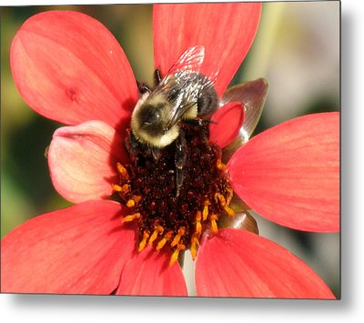Bee With Flower Metal Print by Kimberly Mackowski