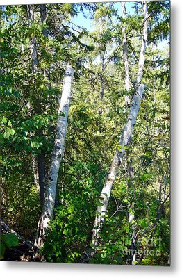 Metal Print featuring the photograph Birch Trees by Jim Sauchyn