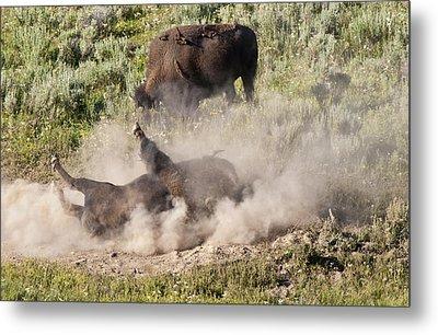 Bison Dust Bath Metal Print by Paul Cannon