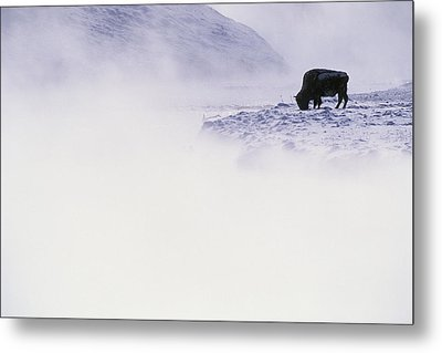 Bison Grazing In Winter Metal Print by Bobby Model
