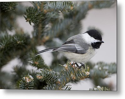 Black-capped Chickadee, Poecile Metal Print by John Cancalosi