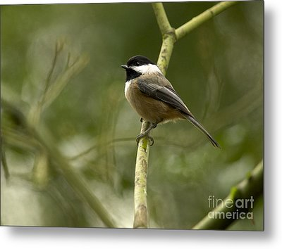 Black-capped Chickadee With Branch Bokeh Metal Print by Sharon Talson