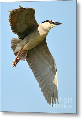 Black Crown Night Heron Metal Print