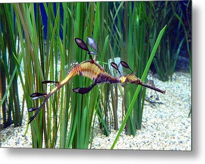 Black Dragon Seahorse Metal Print by Carla Parris