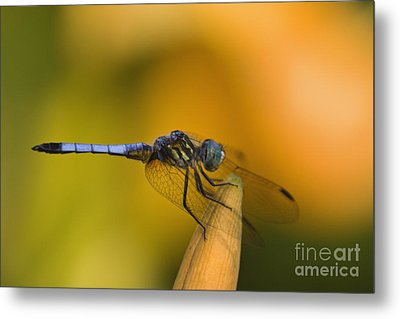 Blue Dasher - D007665 Metal Print by Daniel Dempster