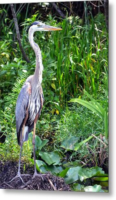 Metal Print featuring the photograph Blue Heron At The Everglades by Pravine Chester