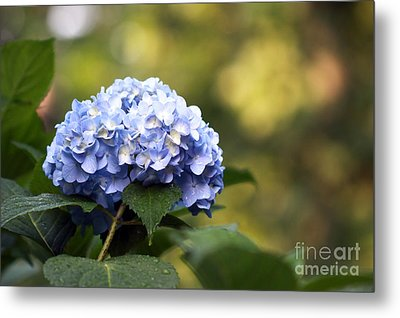 Metal Print featuring the photograph Blue Hydrangea by Denise Pohl