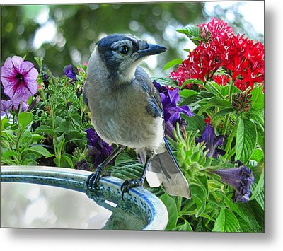 Metal Print featuring the photograph Blue Jay At Water by Debbie Portwood