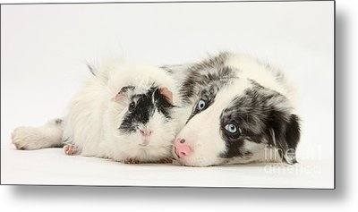 Blue Merle Border Collie With Guinea Pig Metal Print by Mark Taylor