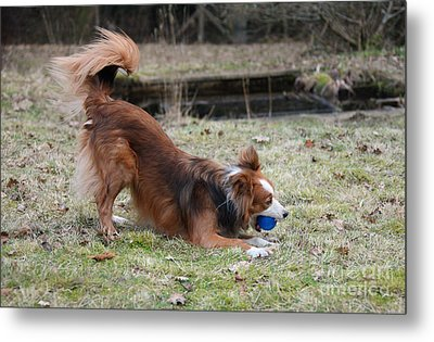 Border Collie Playing With Ball Metal Print by Mark Taylor