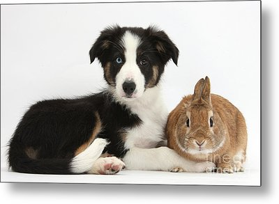 Border Collie Pup And Netherland-cross Metal Print by Mark Taylor