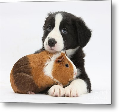 Border Collie Pup And Tricolor Guinea Metal Print