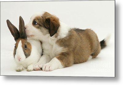 Border Collie Pup With Dutch Rabbit Metal Print by Jane Burton