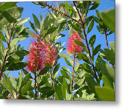 Bottle Brush Metal Print by Diane Ferguson