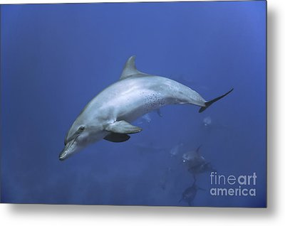 Bottlenose Dolphin Metal Print by Tom Peled