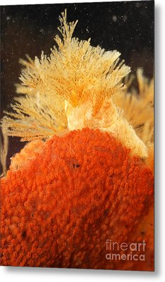 Bowerbanks Halichondria & Spiral-tufted Metal Print by Ted Kinsman