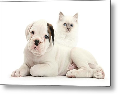 Boxer Puppy And Blue-point Kitten Metal Print by Mark Taylor