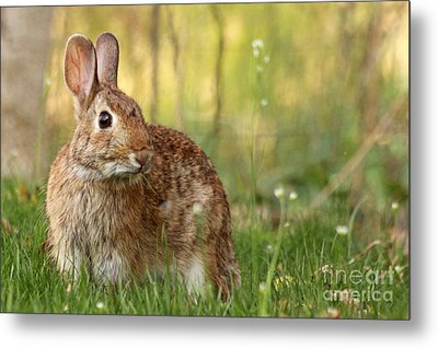 Metal Print featuring the photograph Brown Bunny by Denise Pohl